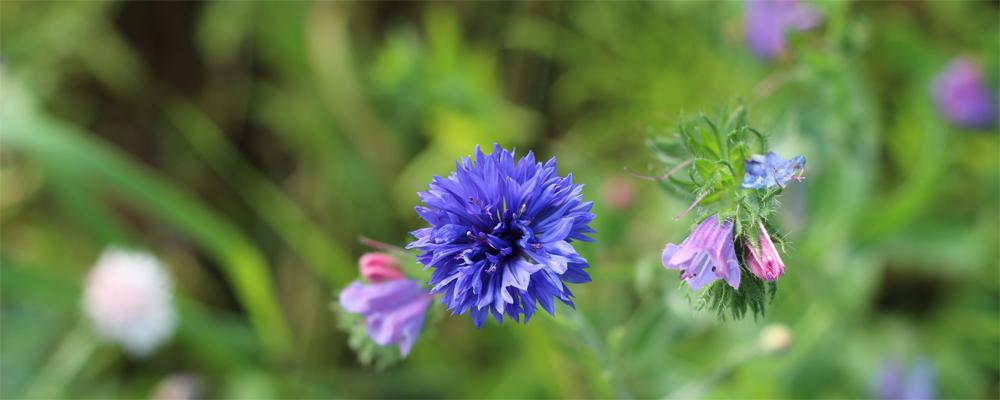 Blaue-blume-herausragend